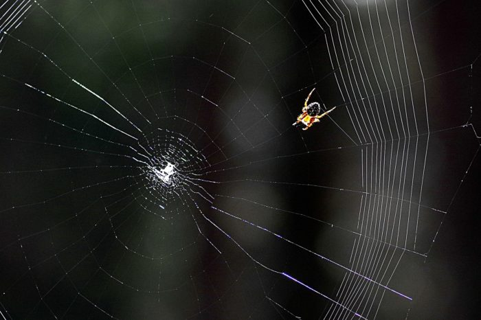 Spider in the center of its cobweb